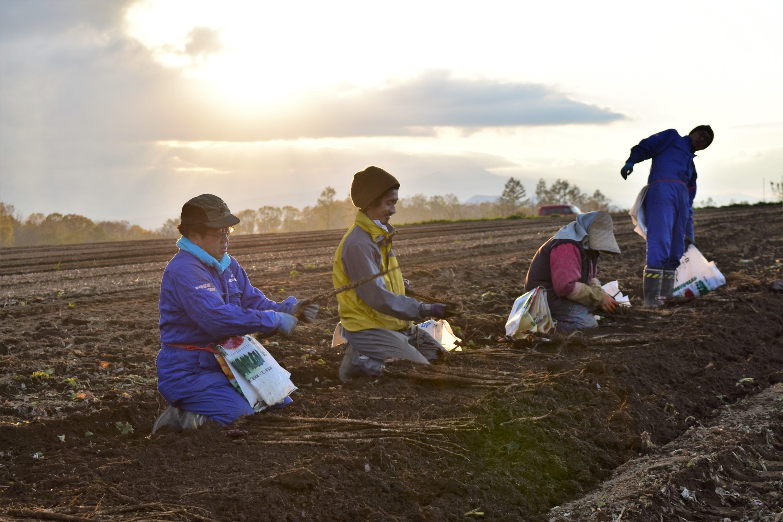 吉川農場のごぼう収穫