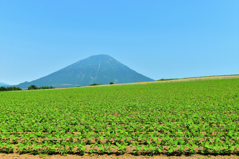 羊蹄山と大豆畑