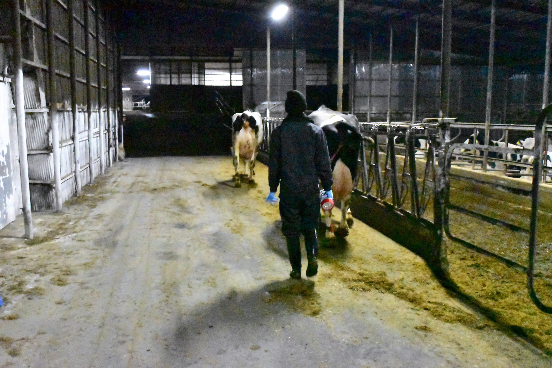 分娩房に移動する出産したばかりの母牛