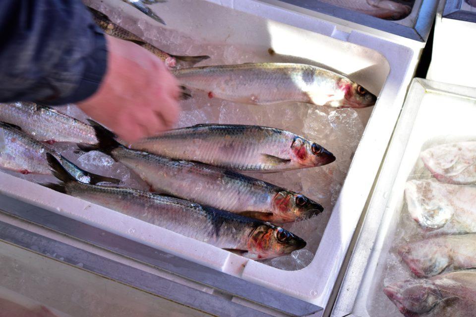 春告げ魚のニシン