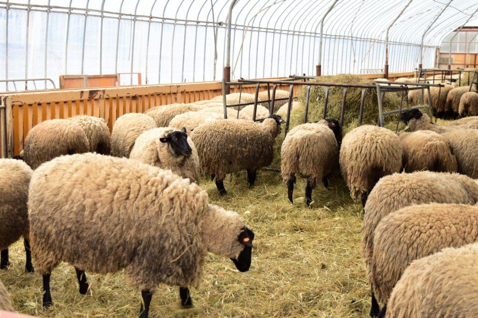 サフォーク親羊