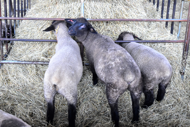 サフォーク仔羊のお尻