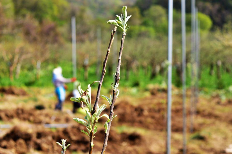 リンゴの苗木から伸びる新芽