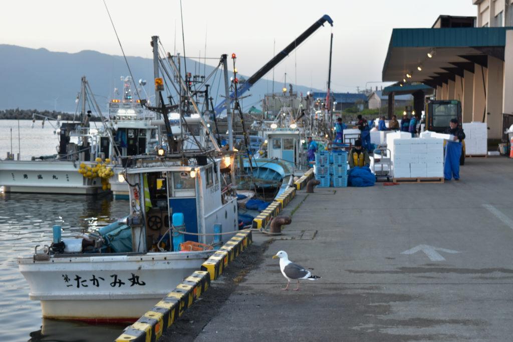 寿都漁港の小女子の水揚げ作業